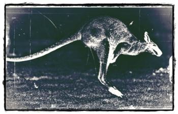 Kangaroo-Springen