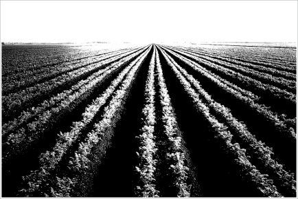 Rows of a Carrot Field