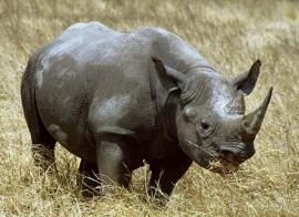 blk-rhino